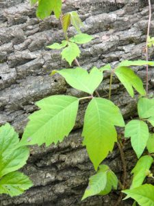"""Leaves of Three, Let Them Be"": Tips for Handling the Poison Ivy Blues with Safety Management Courses--Call to Action!"